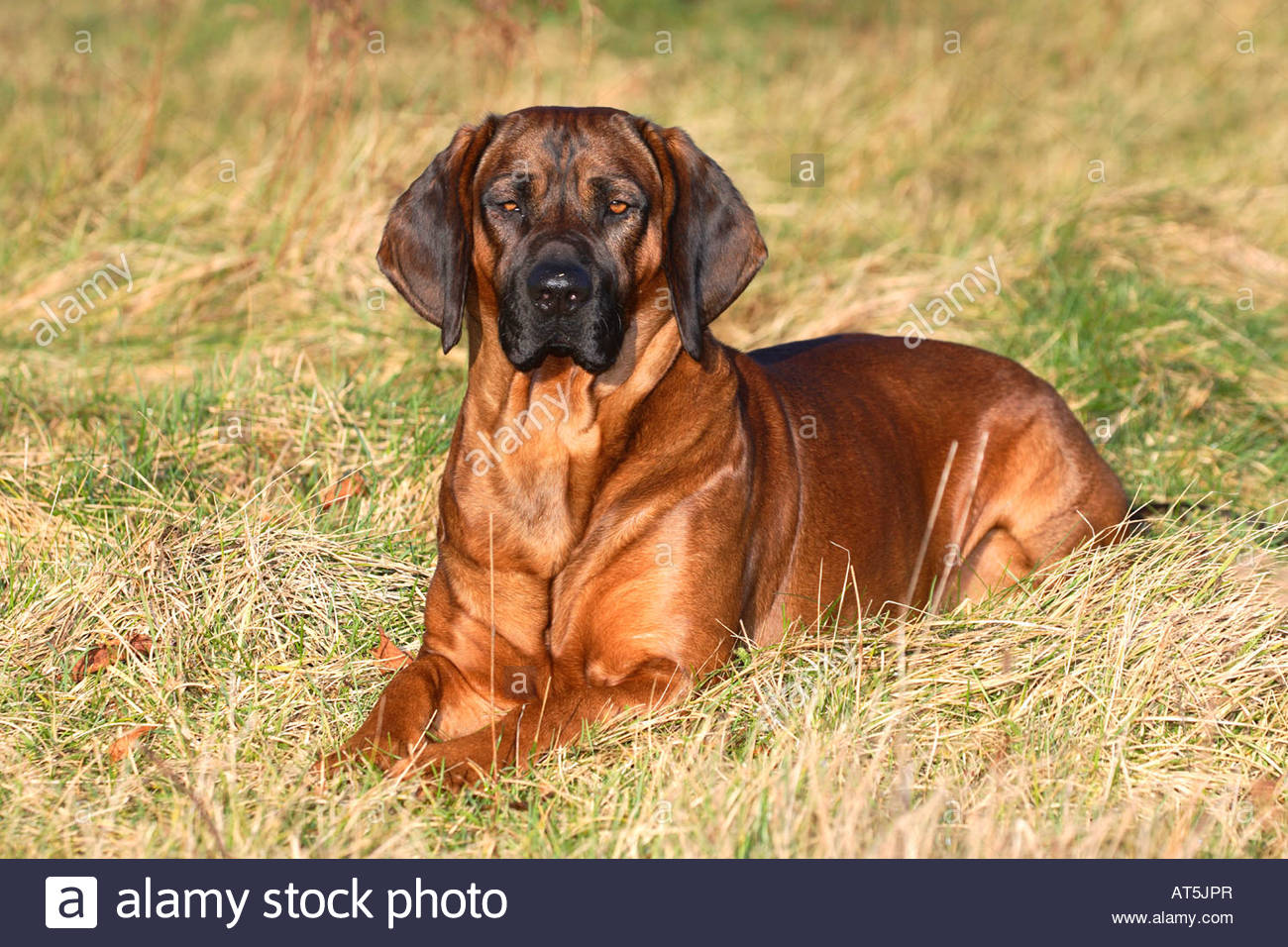 hanoverian-scenthound-AT5JPR